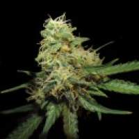 RKS Feminised Seeds