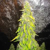 Rock  Machine  Auto  Feminised  Cannabis  Seeds  Jpg
