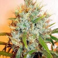 S E R I U O S  Cannabis  Seeds  Kali  Mist  Feminised 1