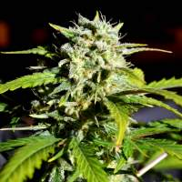 Super Lemon Haze Feminised Seeds