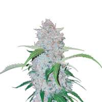 Six Shooter Autoflowering Feminised Seeds