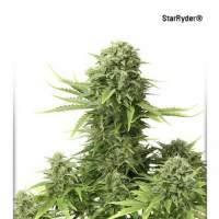 StarRyder Auto Feminised Seeds