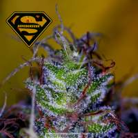Supercheese Feminised Seeds