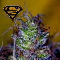 Supercheese Feminised Seeds
