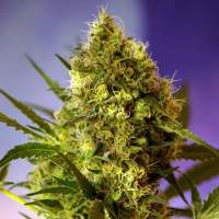 Sweet Mix Auto Feminised Seeds