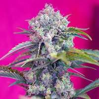 Cream Mandarine Auto Feminised Seeds