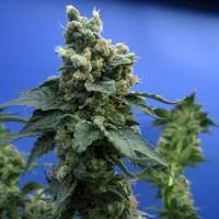 T H  Cannabis  Seeds  Sagensour