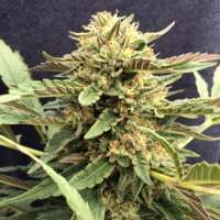 Therapy CBD Feminised Seeds