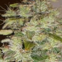 Truly  Fruity  Regular  Cannabis  Seeds 0