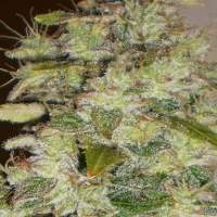 Truly  Fruity  Regular  Cannabis  Seeds 0