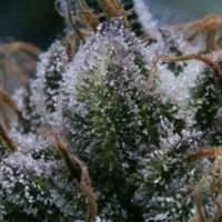 Tuna  God  Regular  Cannabis  Seeds