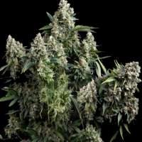 Tutankhamon  Pyramid  Cannabis  Seeds 0