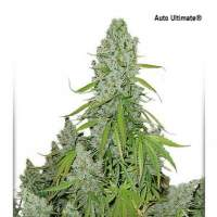 Ultimate Auto Feminised Seeds