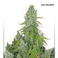 Ultimate  Auto  Feminised  Cannabis  Seeds  Jpg