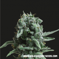 White Widow 47 Feminised Seeds