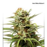 White Widow Auto Feminised Seeds