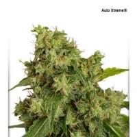 Xtreme  Auto  Feminised  Cannabis  Seeds  Jpg