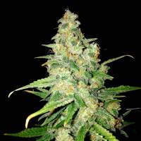 Zkittlez Feminised Seeds