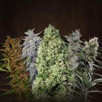 Ace Mix Feminised Seeds