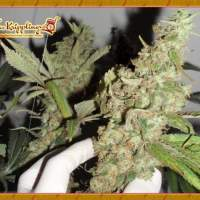 Afghan Cow Feminised Seeds