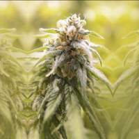 Afghani CBD Feminised Seeds