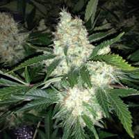 AK27 Express AUTO Feminised Seeds