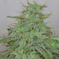 Alaskan Purple Auto Feminised Seeds