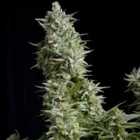 Alpujarrena Feminised Seeds