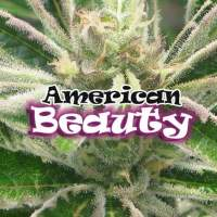 American Beauty Feminised Seeds