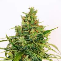 Amnesi - K Lemon Feminised Seeds