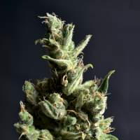 Amnesia 5 Feminised Seeds