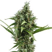 Amnesia Auto Feminised Seeds