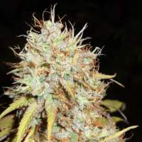 Amnesia Express AUTO Feminised Seeds