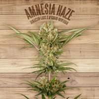 Amnesia Haze Feminised Seeds