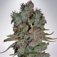 Auto Blueberry Domina Feminized