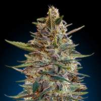 Blue Diesel Auto Feminised Seeds