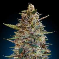 Collection #2 AUTOMATIC Feminised Seeds