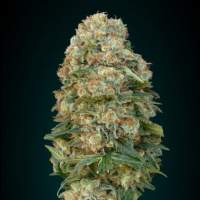 Collection #4 AUTOMATIC Feminised Seeds