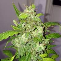 Auto Lemon Bubble Feminised Seeds