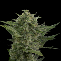 Reek'n Auto Feminised Seeds