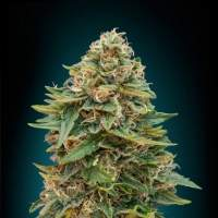 Skunk 47 Auto Feminised Seeds