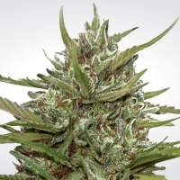 Whiteberry Auto Feminised Seeds