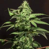 BC Jack Herer Regular Seeds