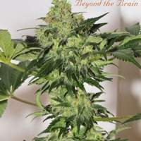 Beyond the Brain (Limited edition) Regular Seeds