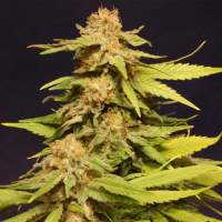 Big Bull (Kannabia Special) Feminised Seeds