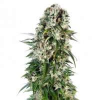 Big Bud AUTO Feminised Seeds