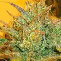 L.A. Cheese Feminised Seeds