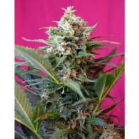 Big Devil XL Auto Feminised Seeds