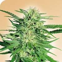 Big Bud Regular Seeds