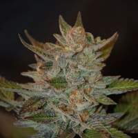 Blue OG Feminised Seeds